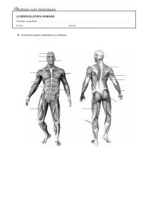 musculos del cuerpo humano sin nombre